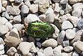 Cetonia común (Cetonia aurata), Múnich, Alemania, 2012-06-07, DD 01.jpg