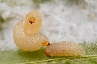 Ceutorhynchus picitarsis (31796237972).jpg