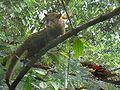 Cevit Cat Kopi Luwak.jpg