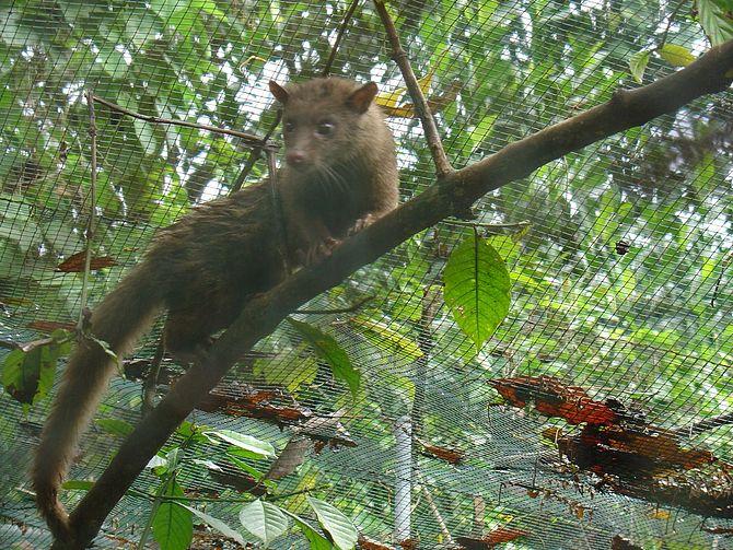 English: Asian Palm Civet Paradoxurus hermaphr...
