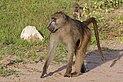 Chacma baboon (Papio ursinus griseipes) male.jpg