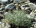 Chaenactissuffrutescens.jpg