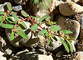 Chamaesyce serpyllifolia ssp serpyllifolia 2.jpg