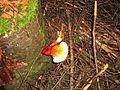 Champignon inconnu en forêt de résineux.JPG
