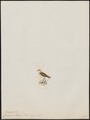 Charadrius kittlitzi - 1820-1860 - Print - Iconographia Zoologica - Special Collections University of Amsterdam - UBA01 IZ17200249.tif
