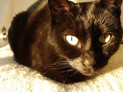 Chatte noire.jpg
