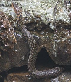 Checkered keelback @ Kanjirappally.jpg