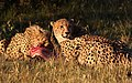 Cheetah, Acinonyx jubatus, at Pilanesberg National Park, Northwest Province, South Africa. (27585941995).jpg
