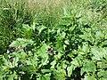 Chenopodium rubrum (s. str.) sl5.jpg