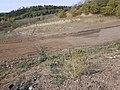 Chenopodium urbicum sl64.jpg