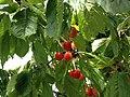 Cherries 3.jpg