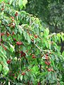 Cherries in my neighbour's garden.jpg