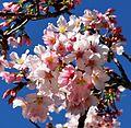 Cherry blossoms Lake Balboa (20140330-0159).JPG