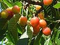 Cherrytree-01.06.09.JPG