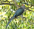 Chestnut-bellied Malkoha.jpg