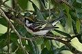 Chestnut-sided Warbler (male) Anahuac NWR-Jackson Prairie Woodlot TX 2018-04-24 15-03-19-2 (40249883780).jpg