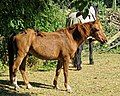 Chestnut horse at Little Hallingbury 02.jpg