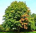 Chestnut turning colour - geograph.org.uk - 972543.jpg