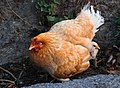Chicken Nepal.jpg