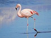 Чилийский фламинго в Чили