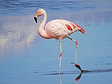 Chilean Flamingo at Los Flamencos National Reserve, Chile.jpg