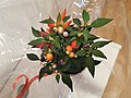 Chilli plant in a pot 20.jpg