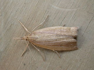 <i>Chilo</i> (moth) Genus of moths