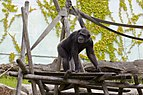Chimpancé común (Pan troglodytes), Tierpark Hellabrunn, Múnich, Alemania, 2012-06-17, DD 04.jpg