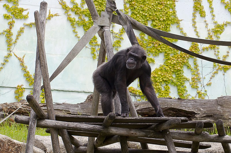 File:Chimpancé común (Pan troglodytes), Tierpark Hellabrunn, Múnich, Alemania, 2012-06-17, DD 04.jpg
