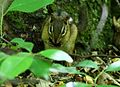 Chipmunk-eating-nut-wildlife 11 - West Virginia - ForestWander.jpg