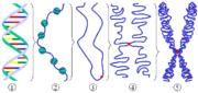 Schéma général d'un chromosome eucaryote.