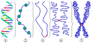 DNA condensation - Different levels of DNA condensation in eukaryotes. (1) Single DNA strand. (2) Chromatin strand (DNA with histones). (3) Chromatin during interphase with centromere. (4) Two copies of condensed chromatin together during prophase. (5) Chromosome during metaphase.