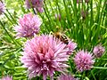 Ciboulette & abeille (504343719).jpg
