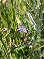 Cichorium intybus inflorescence (3330221232).jpg
