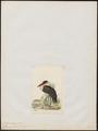 Ciconia microscelis - 1820-1863 - Print - Iconographia Zoologica - Special Collections University of Amsterdam - UBA01 IZ17600045.tif