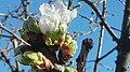 Ciliegio in fiore .jpg