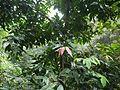 Cinnamomum ¿ malabatrum ? (8150114636).jpg