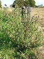 Cirsium vulgare plant4 (12400832835).jpg