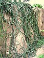 Cissus quadrangularis - Hong Kong Park Conservatory - IMG 9824.JPG