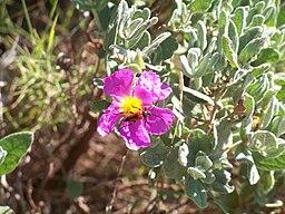 ciste fleur rose