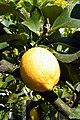 Citrus Baum - panoramio.jpg