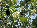 Citrus blossoms Kefar Saba February 2015 a.jpg