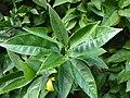 Citrus sinensis Lucca 02.jpg