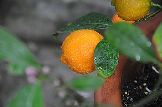 Rangpur (fruit) - Image: Citrus x limonia (Osbeck) Lemandrine 003
