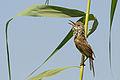 Clamorous Reed Warbler هازجة الغاب المصرية.jpg