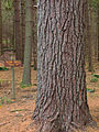 Clear Creek State Park Monster Pine.jpg