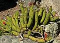 Cleistocactus samaipatanus 1.jpg