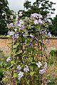 Clematis at Goodnestone Park Kent England 2.jpg