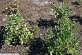 Clethra alnifolia 25zz.jpg