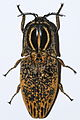 Click Beetle (Lycoreus madagascariensis) (8564000653).jpg